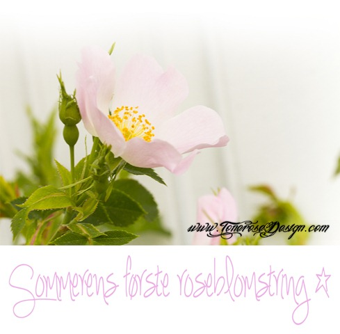 IMG_9987 sommerens første roseblomstring