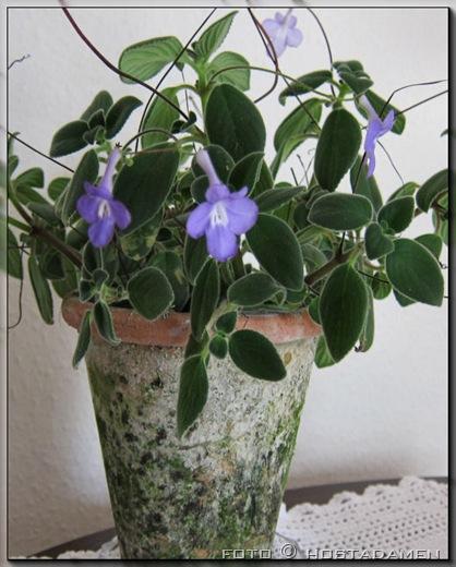 Streptocarpus_02