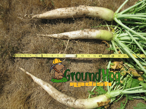 GroundHog™ Radish at 2 months old.