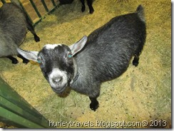 Friendly pygmy goat.