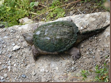Water Turtle-Manitulin Island ON