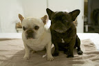 Here we are!  Two beautifully clean Frenchies!
