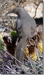 CU curve-billed thrasher 11-12-2012 12-22-40 PM 497x855