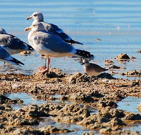 8. gulls and plover-kab