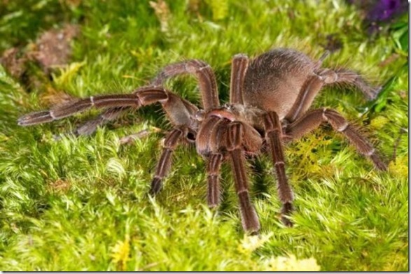 giant-largest-spider-15