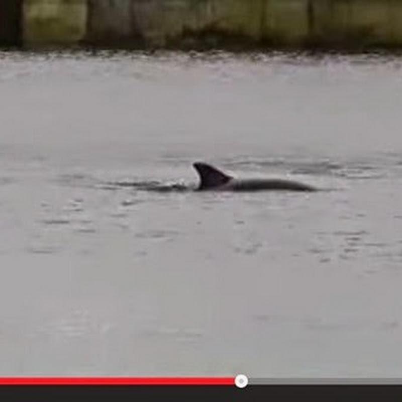 Λαμπραντόρ και δελφίνι  κολυμπούν  μαζί