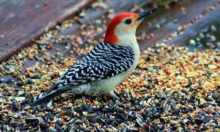 Red Bellied Woodpecker 2