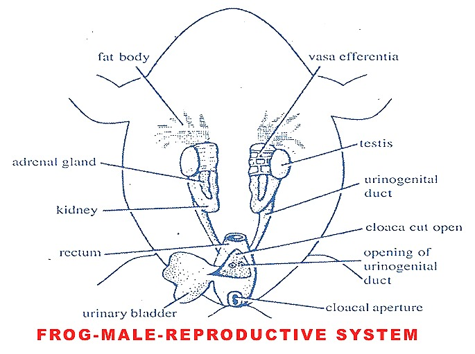 male-reproductive-organs-frog
