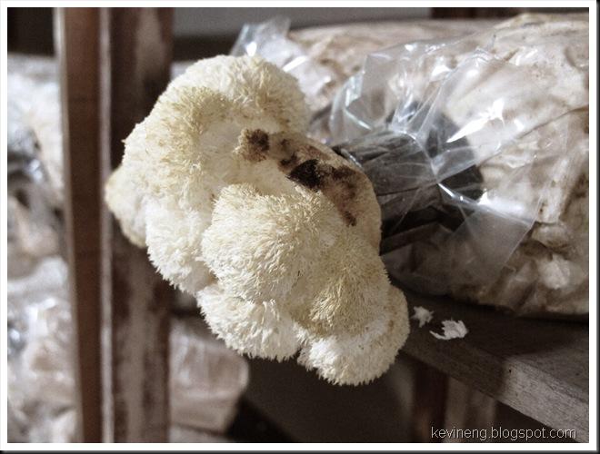 Monkey Head Mushroom