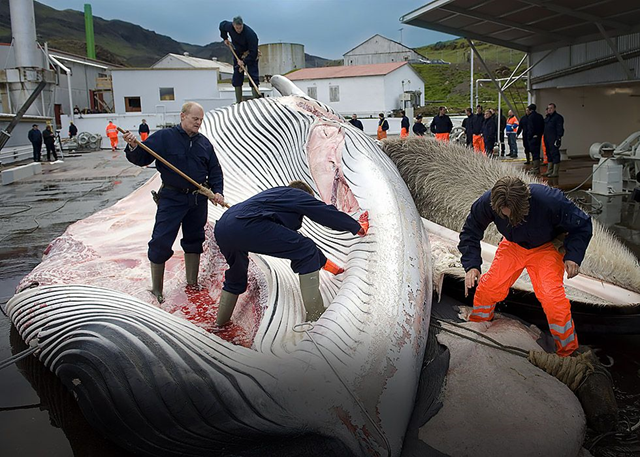 Iceland whale poachers butcher an endangered fin whale. Photo: Halldor Kolbeins / Getty Images