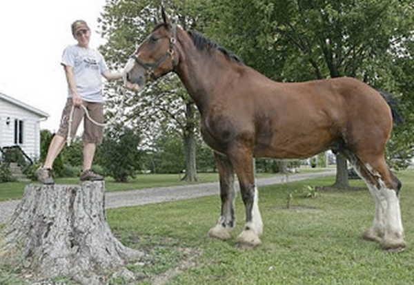 9- O cavalo mais alto do mundo