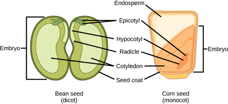Dicot embryo and Monocot embryo