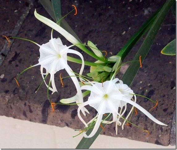 Sonoran spider lilies 2 6-24-2013 9-31-09 AM 2728x2300
