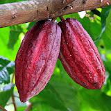 Cocoa Pods - St. George's, Grenada