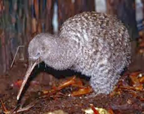 Amazing Pictures of Animals, Photo, Nature, Incredibel, Funny, Zoo, Apteryx, Kiwis, Bird, Aves, Alex (13)
