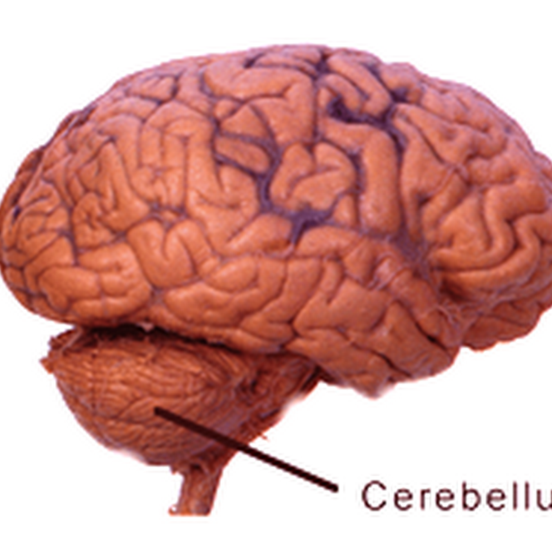 The cerebellum II