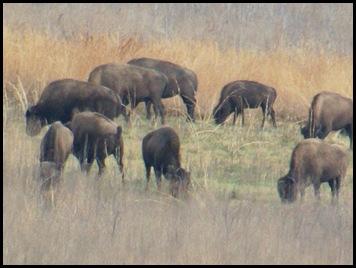 Buffalo, horses & deer 005
