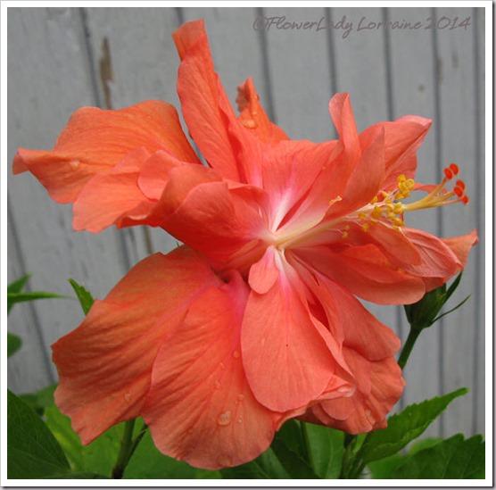03-07-hibiscus2