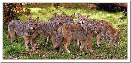 koyotes