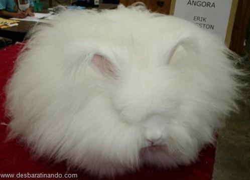 coelho angora peludo desbaratinando (3)