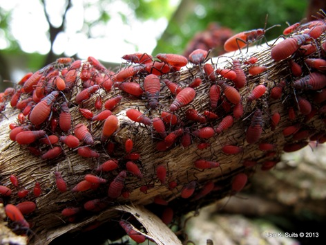red-shouldered bugs close