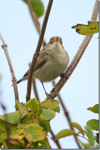 Kilminning_Eastern_Olivaceous_Warbler-1