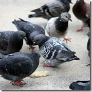 [Pigeons eating]