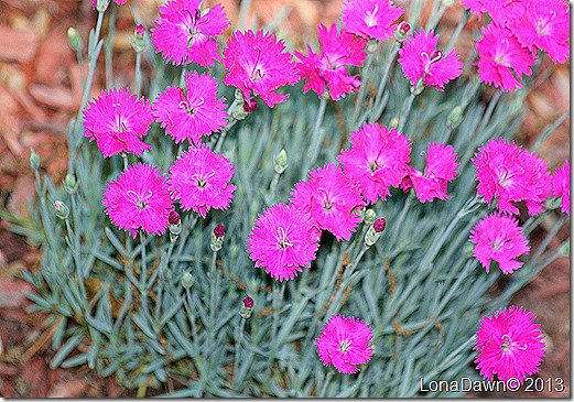 Dianthus_Fire_Witch2