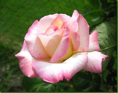 Rose PRISTINE