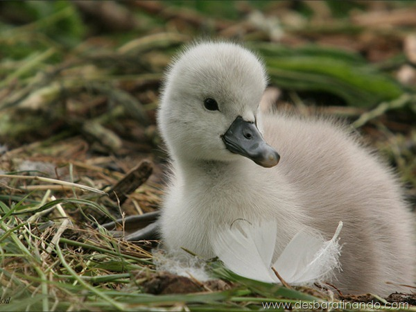 filhotes-patos-fofos-pequenos-desbaratinando (8)