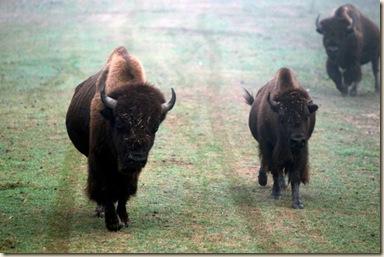 deussen park bison