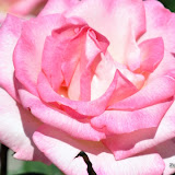 News_110430_RoseSociety_Kleine