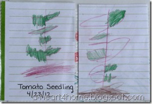 tomato seedlings Emahry