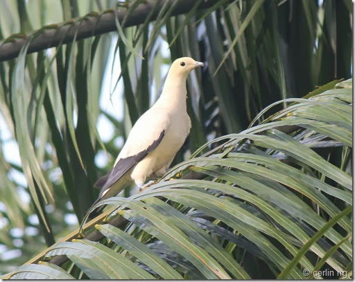 pied imperial pigeon on oil palm
