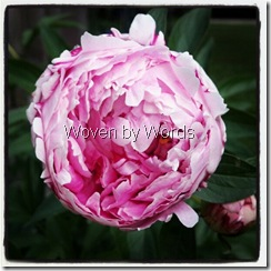 peony opening