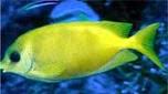 Nouvelle-Calédonie picot corail