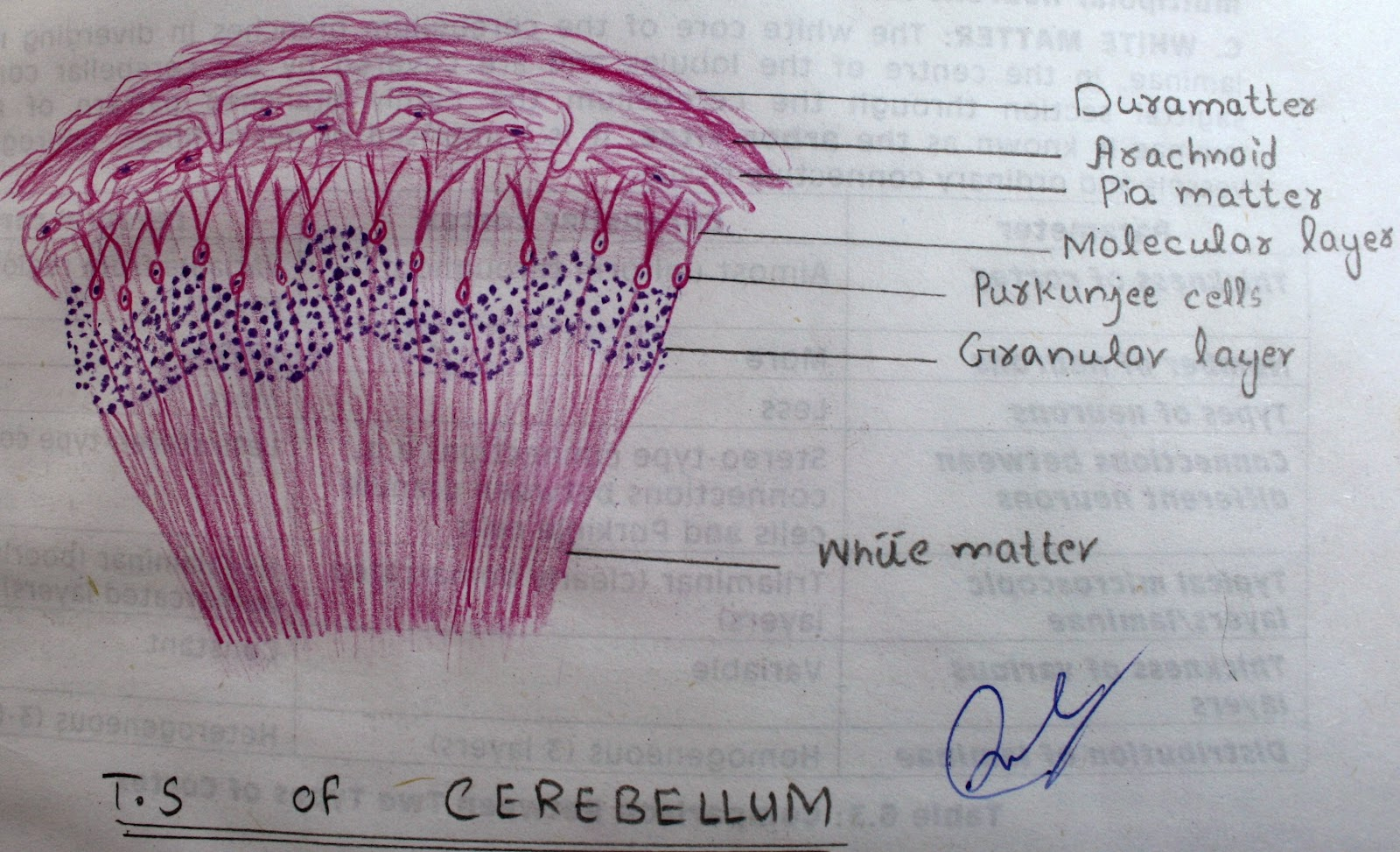 [T.S%2520of%2520cerebellum%2520high%2520resolution%2520histology%2520diagram%255B3%255D.jpg]