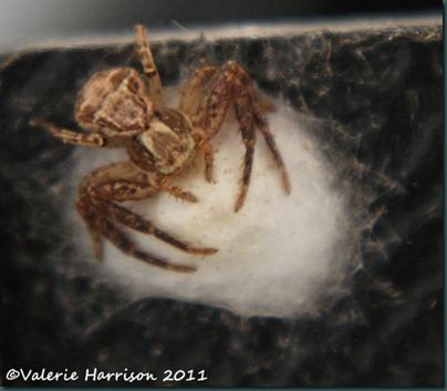 spider Xysticus cristatus