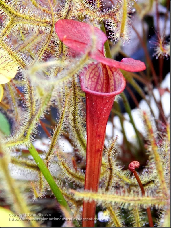 atropurpurea seedling