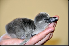 Penguin chick in hand DSC_0015