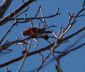 Male White-winged Crossbill, Losen Slote Creek Park, Little Ferry, NJ, 1/27/13
