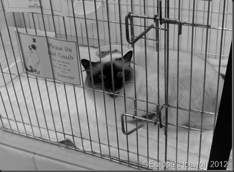 Long Coat Chocolate Point Siamese