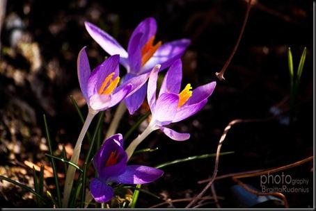 blom_20120313_krokus