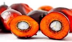 Frutti tagliati di palma da olio (con nocciolo o palmisti)