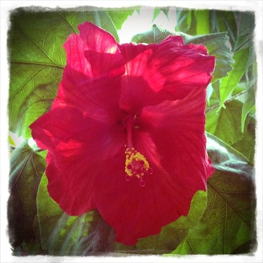 hibiscus