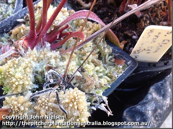 frozen capensis