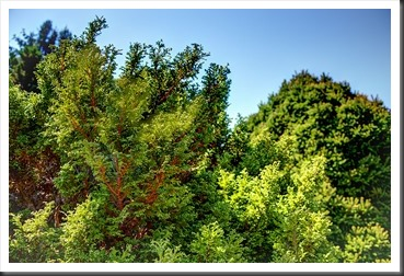 HDR photo of evergreens at Hershey Gardens