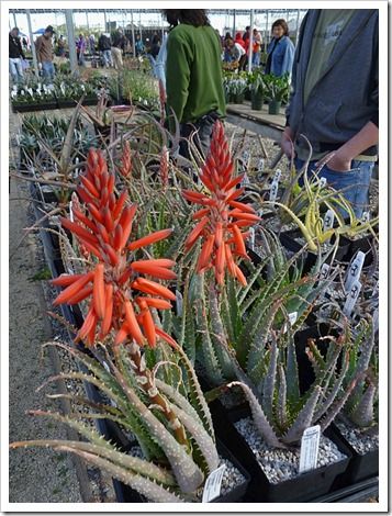 120310_UCDArboretum_Aloe-spinosissima_04