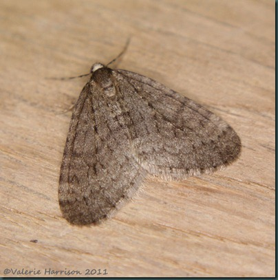 winter-moth
