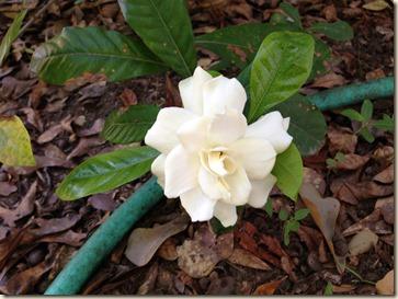 gardenia beauty